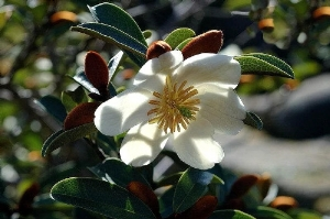 Michelia yunnanensis (from web)