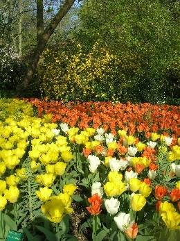3rd Favourite Tulip Display