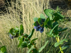 Cerinthe major var. purpurescens