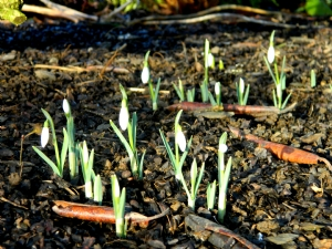 The Gift of Snowdrops