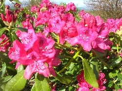 Unidentified Rhodo