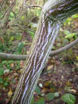 Acer rufinierve