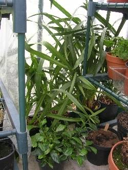 Cymbidiums, Pleione & Gardenia