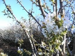Cherry & Blackthorn