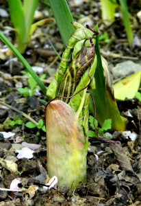 Arisaema graffithii