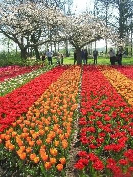 2nd Favourite Tulip Display