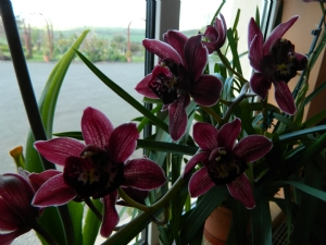 Cymbidium Miss Scarlet