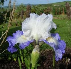 Today's Iris