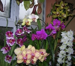 orchids in flower