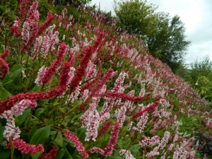 Persicaria affinis (planted on bank)