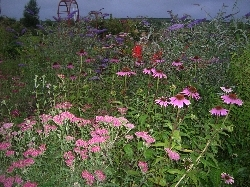 Echinacea, achillea & butterfly bush (no grassses in this photo)