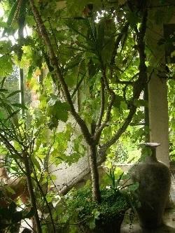 Anne Boleyn's Grape Vine