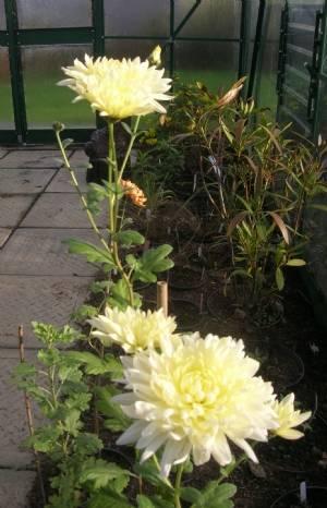Chrysanthemum 'Clare Dobson'