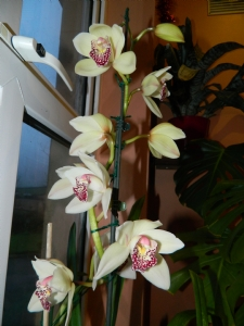 Cymbidium Mrs White