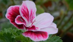 Spring Rejuvenation of Pelargoniums
