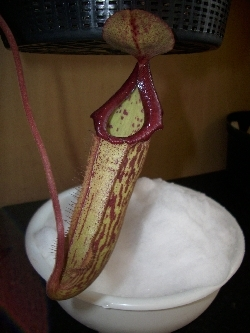 Nepenthes waiting for water