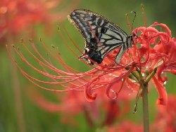 Lycoris radiata (photo from net)