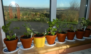 Pelargoniums & Hoya