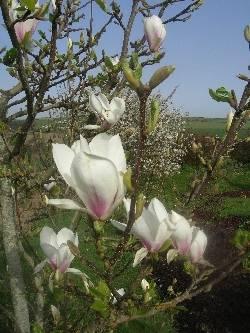 Magnolia soulangiana 'Superba'