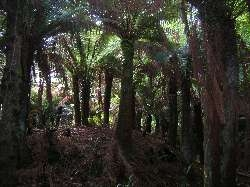 tree ferns in Kells Bay