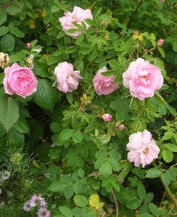 Favourite Roses