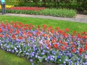Tulipa 'Blumex' & Anemone blanda 'Blue Shades', Keukenhof, April 2011