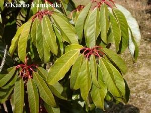 Daphniphyllum macropodum (net photo)
