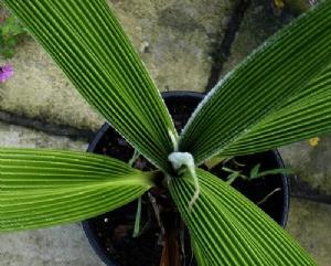 Curculigo crassifolia (net photo)