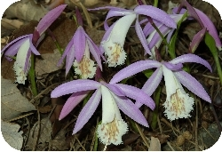Pleione formosa (from net)
