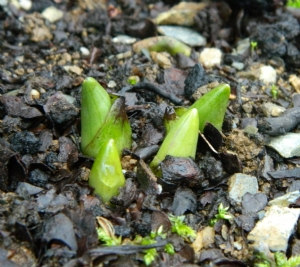 Dactylorhiza maculata 'Kilmarnock'