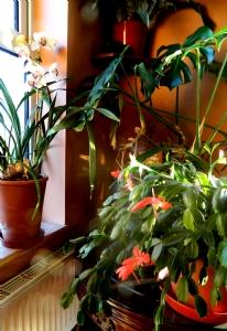 More Christmas Cactus
