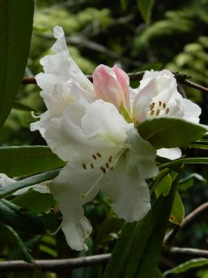 Rhododendron in Altamont Gardens
