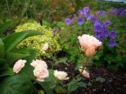 Rosa cautleyoides 'Begonia'???