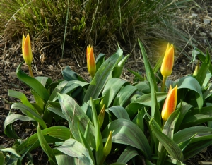 Tulipa 'Giuseppe Verdi'