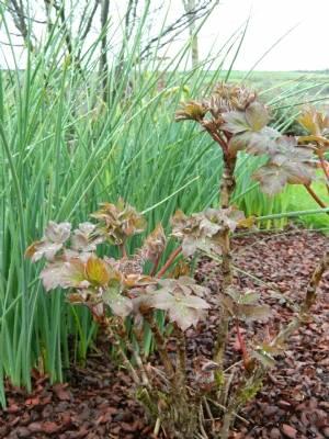 Paeonia suffruticosa 'Wu Long Peng Sheng' (Black Dragon Holding Blossom)
