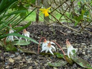 Erythronium dens-canis 'White Splendour'