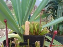 Sarracenia leuchophylla & x Moorrei