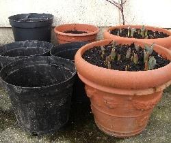 5 Anemone & 2 Tulip Pots