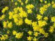 daffodil hill 26.3.11