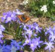 Chinodoxa luciliae & Arabis 25.3.11