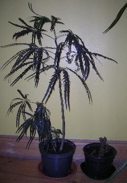 Sick Aralia & Begonia Rex