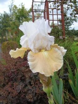 Iris amoena 'Champagne Elegance'