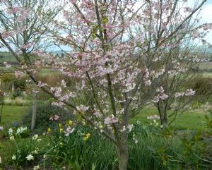 Prunus serrulata 'Accolade'