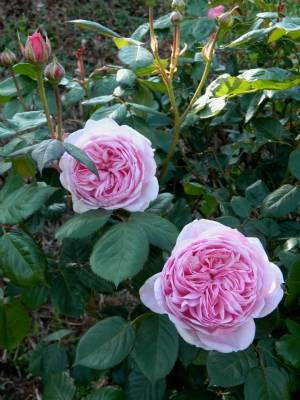 Rosa 'Gertrude Jekyll' ?