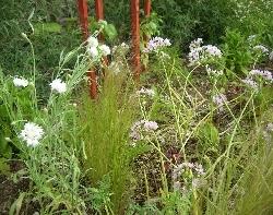 Clare's cornflowers & Allium unifolium