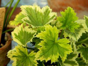 Pelargonium 'Cream 'n Green'