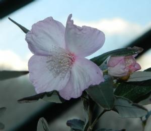 Eucryphia 'Pink Cloud'