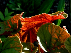 Begonia 'Red Undies'