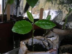 Camellia sinensis (tea)