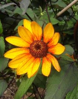 Heliopsis helianthoides scabra 'Summer Nights'